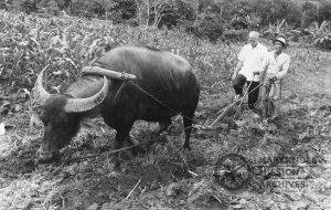 Fr. Walter Maxcy with a carabao, Philippines